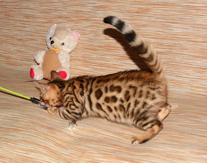 Бенгальские котята лучший выбор