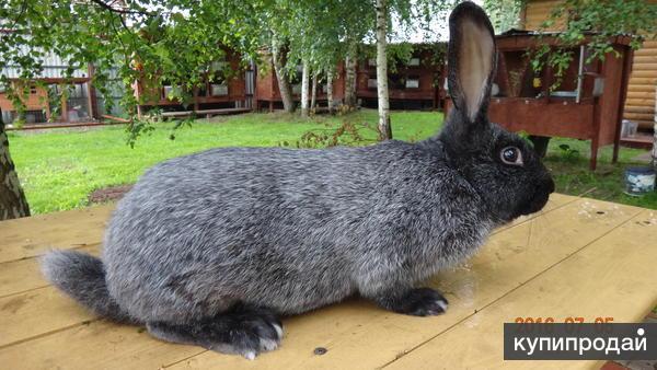 Кролики Советское Серебро.