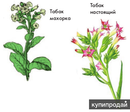 How many of you have heard of nicotiana, or flowering tobacco?