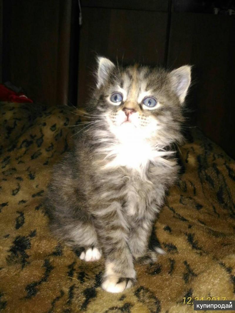 Котята девочки, трехцветные, темные, пушистые 1 месяц Сибирские