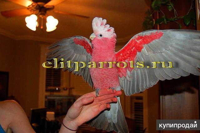 Розовый какаду (Eolophus roseicapilla) - ручные птенцы из питомников Европы.