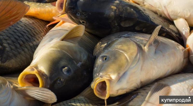 Живая рыба
