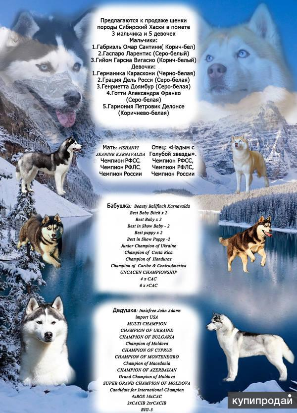 Сибирские Хаски шоу класса