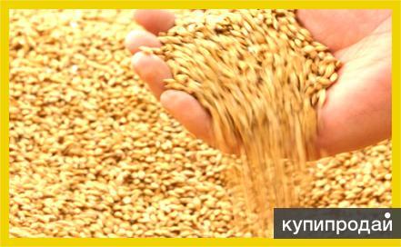 Продаем пшеницу 300т