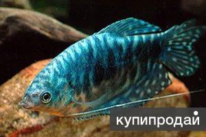 Мраморный гурами – голубой красавец