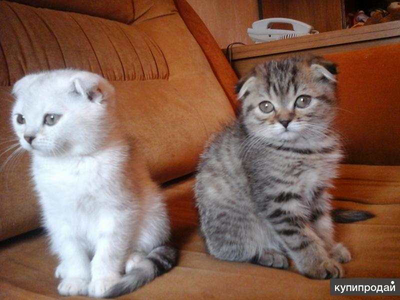 Шотландские  котята, дев. и мальчик.