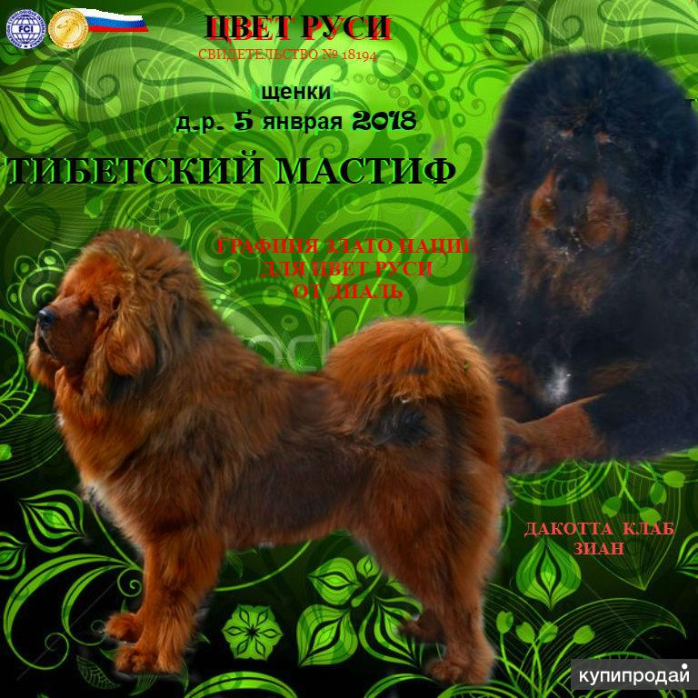 тибетский мастиф, щенки,  питомник