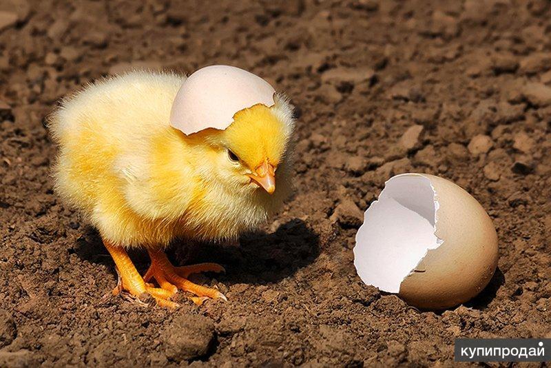 Инкубационное яйцо кросса Кобб 500 Чехия, цыплята