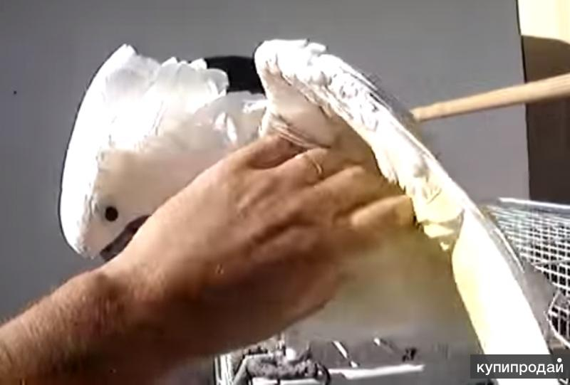 Какаду белохохлый или Альба