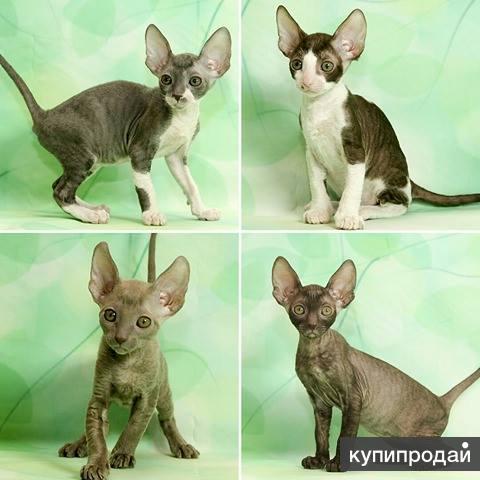 Корниш-рекс королевские кудрявые котята.