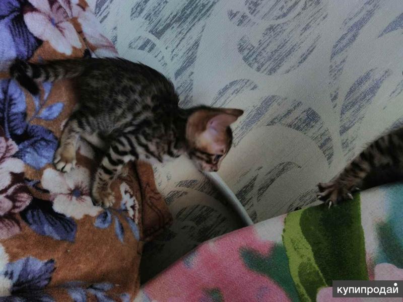Продаются котята породы Бенгальские.