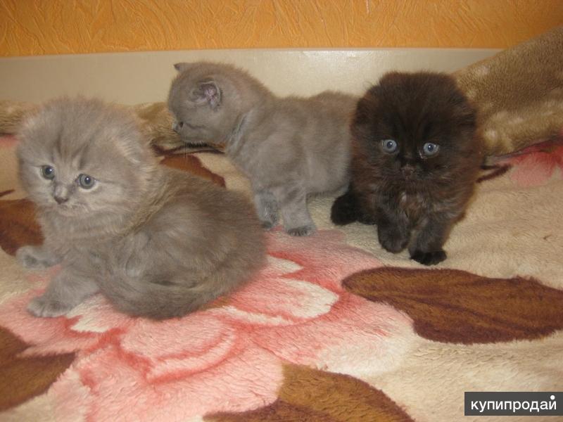 Шотландские котята продажа