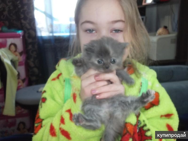 Полуперсидские котята в дар!!!
