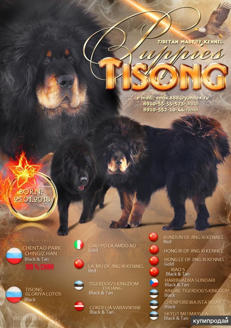Щенки тибетского мастифа.