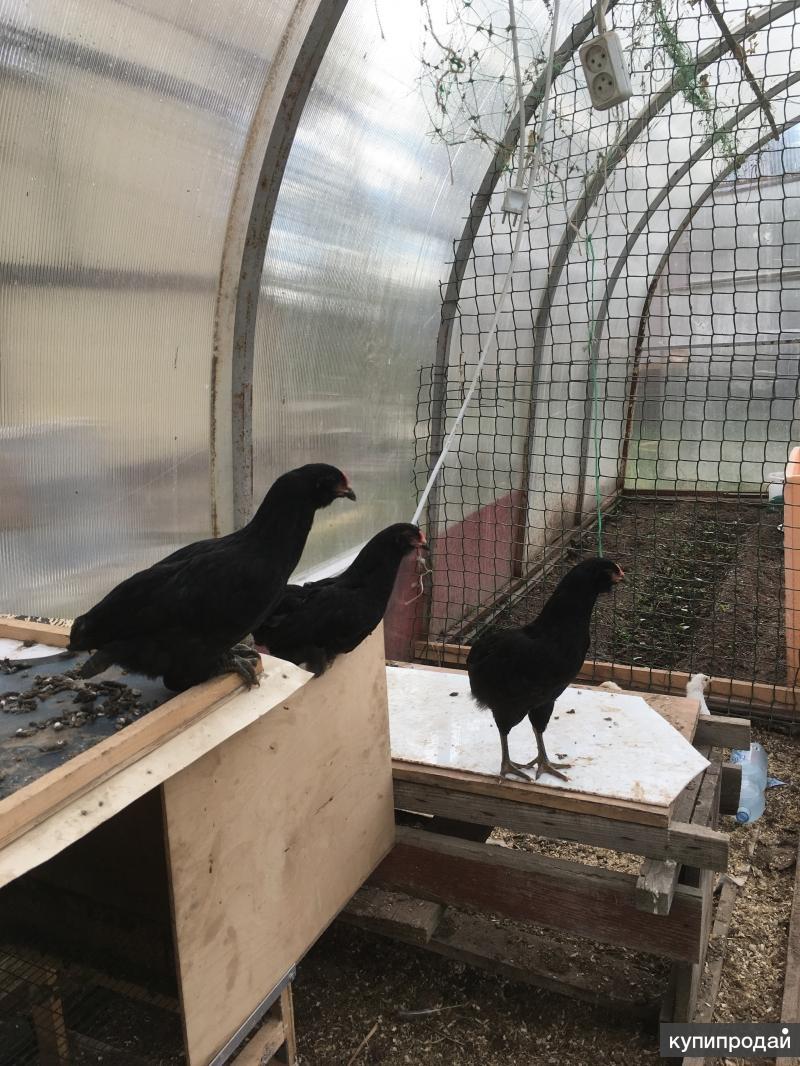Китайские черные цыплята