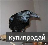 Ворон черный - птенцы выкормыши