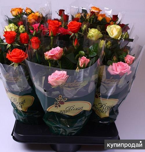 Маттиола купить цветы оптом москва ддоставка цветов по ростову