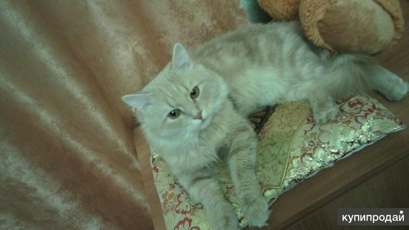 Продам Сибирского кота)