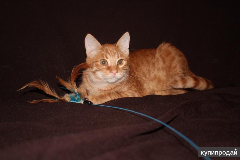Рыжие котята в дар