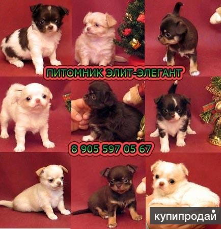 Чихуахуа мини щенки. Продаются чишки, девчонки и мальчишки.