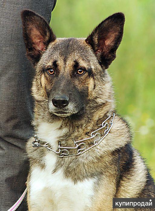 Молодой пёс Эдмунд в дар!