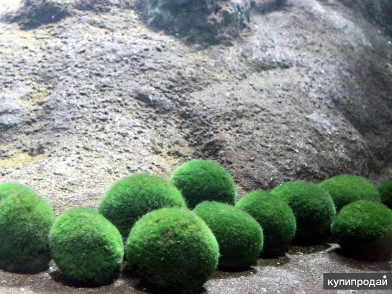МОХ - Кладофора шаровидная (Cladophora aegagropila)