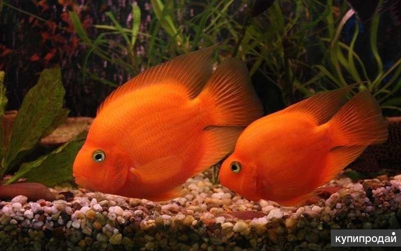 ЦИХЛИДЫ - КРАСНЫЙ ПОПУГАЙ - (Red Parrot Cichlid)