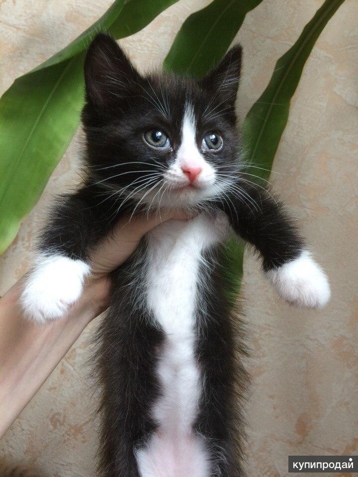 Милейшая кошечка от шотландского кота ищет дом, бесплатно