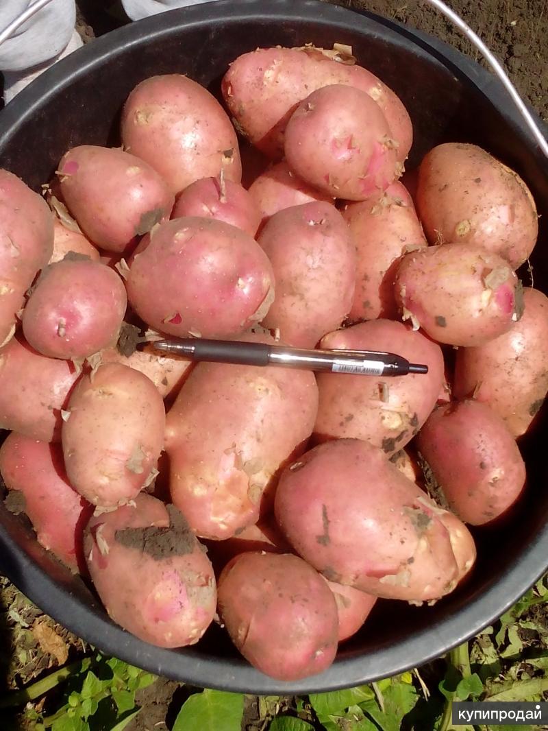 Картофель оптом со склада в Краснодаре