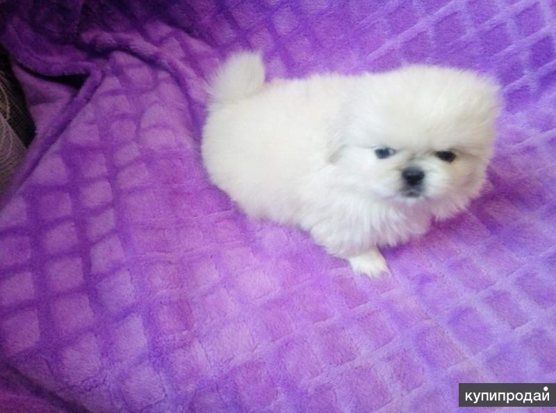 Продаются породистые щенки пекинеса