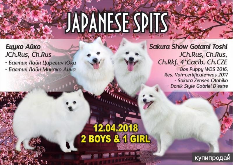 Белоснежные щенки японского шпица