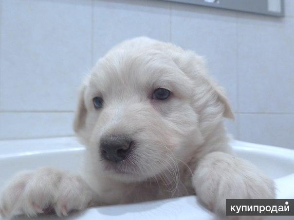 Продаются щенки ягдтерьера,др 260410,4 суки,привиты,цена 10тр об-кучум(чфил*баракуда)15 -1б,4-1пл