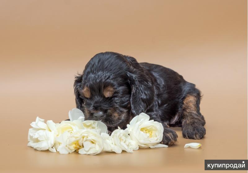 Предлагаются к продаже  щенки американского кокер спаниеля