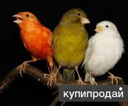 Канарейки(кенара) самцы и самки