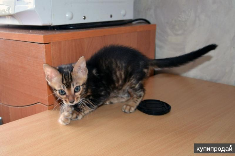 Бенгальская мраморная кошечка