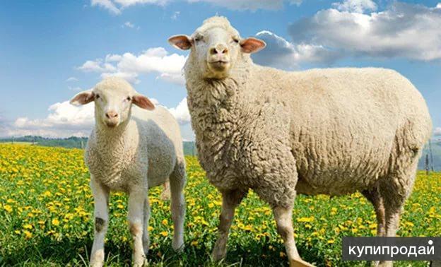 овцы на мясо , обмен