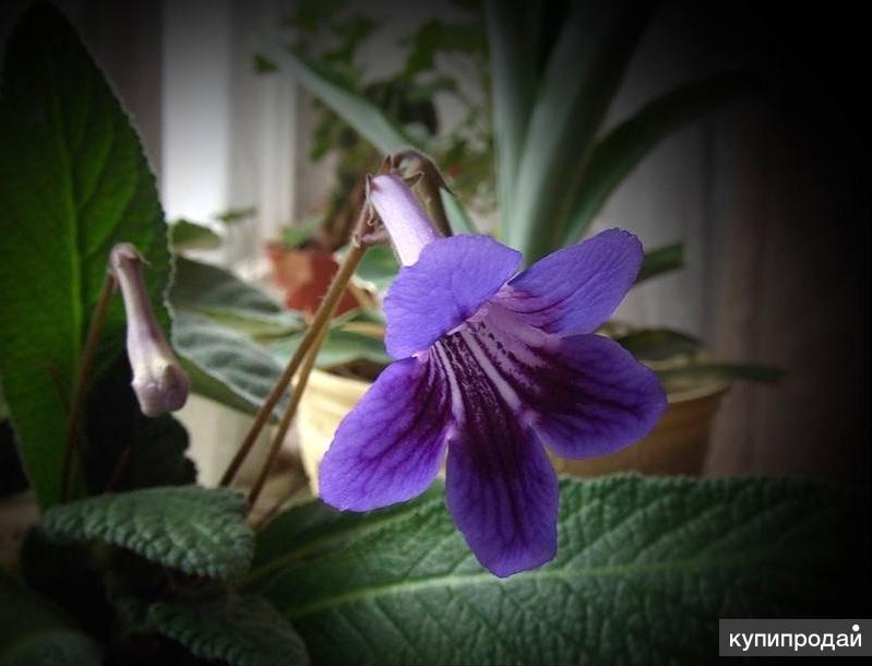 Цветы колокольчики домашние и