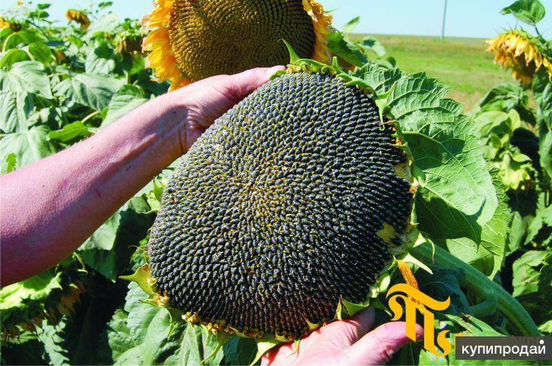 Гибриды семян подсолнечника ПР63А90, ПР62А91 от (Pioneer)