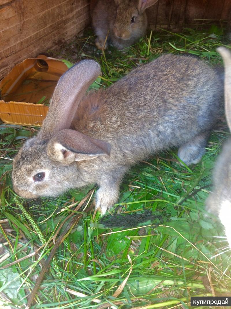 Продам кроликов породы Ризен, Белый великан
