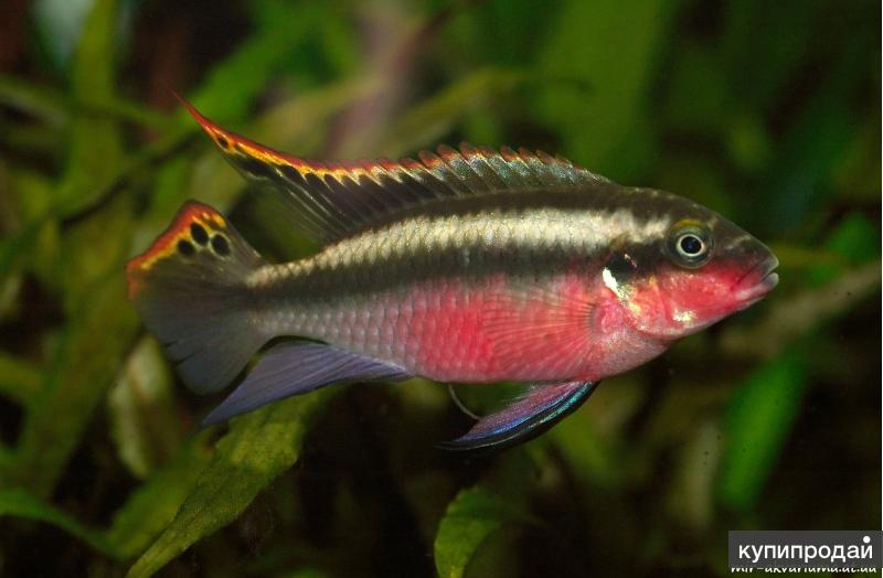 Пельвикахромис пульхер или попугайчик (Pelvicachromis pulcher)