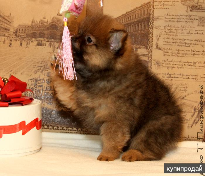 Померанского цверг шпица щенки