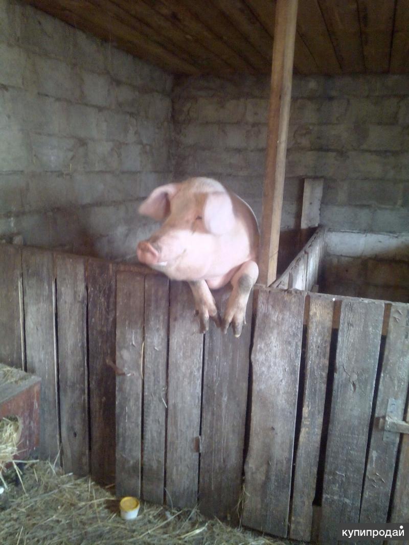породам свинью на мясо.