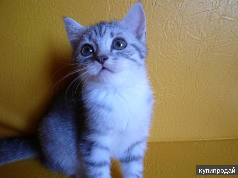 Серебристая красавица-котёнок