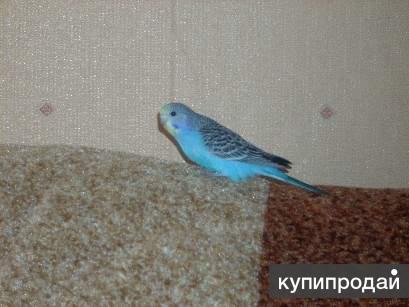 Волнистые попугаи молодая самочка голубого окраса