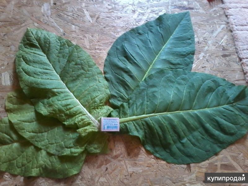 Продам семена табака Virginia Bright
