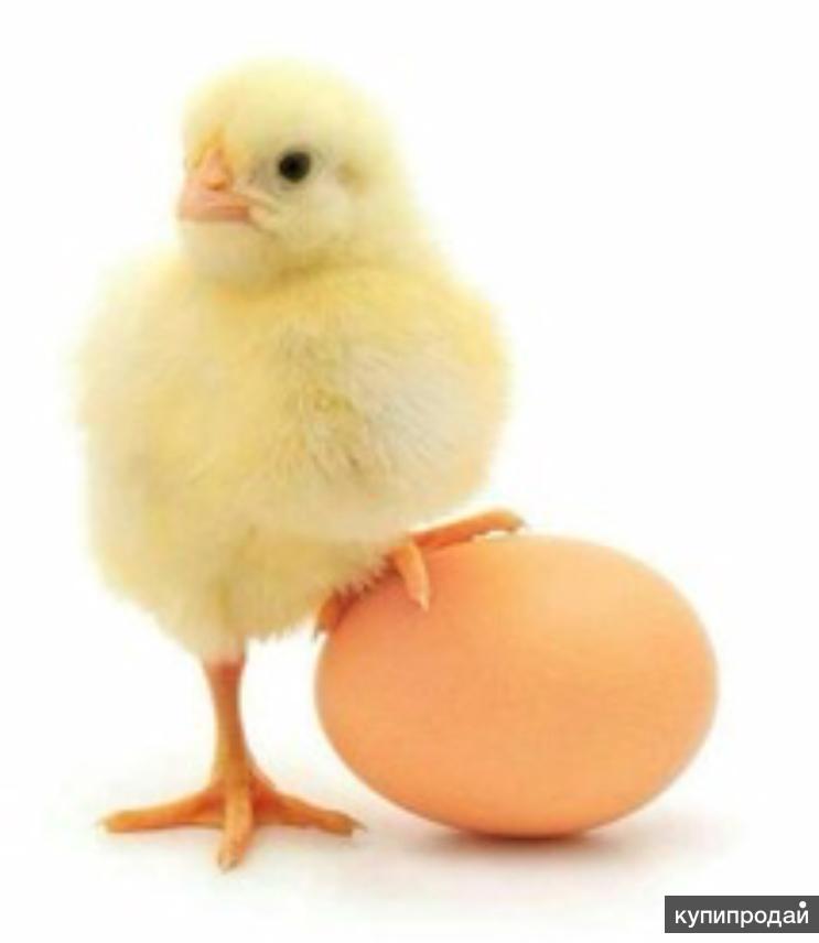 Суточные цыплята, утята, гусята, индюшата, цесарята
