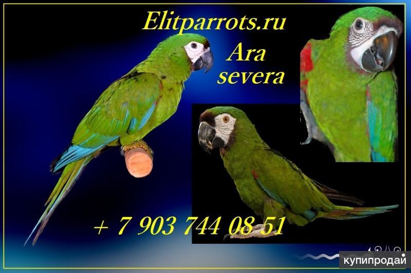 Каштановолобый ара (ara severa) - ручные птенцы из питомников Европы