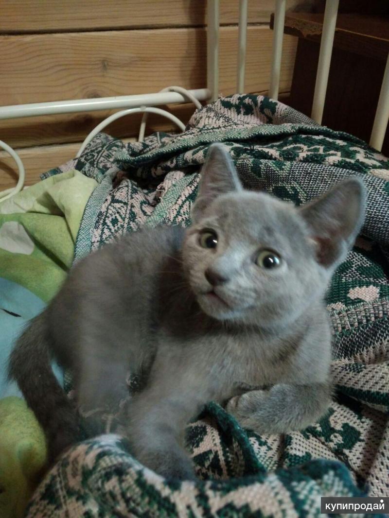 Продам русскую голубую котодевочку 3 месяца