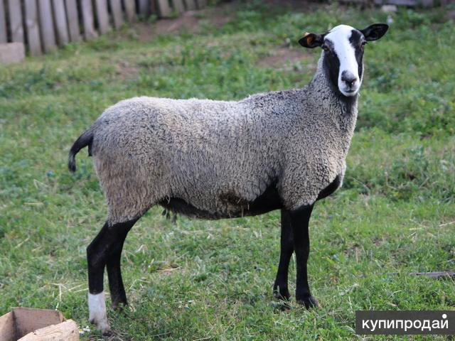 Овцы чистой романовской породы Бараны производители ЦЕНА ДОГОВОРНАЯ
