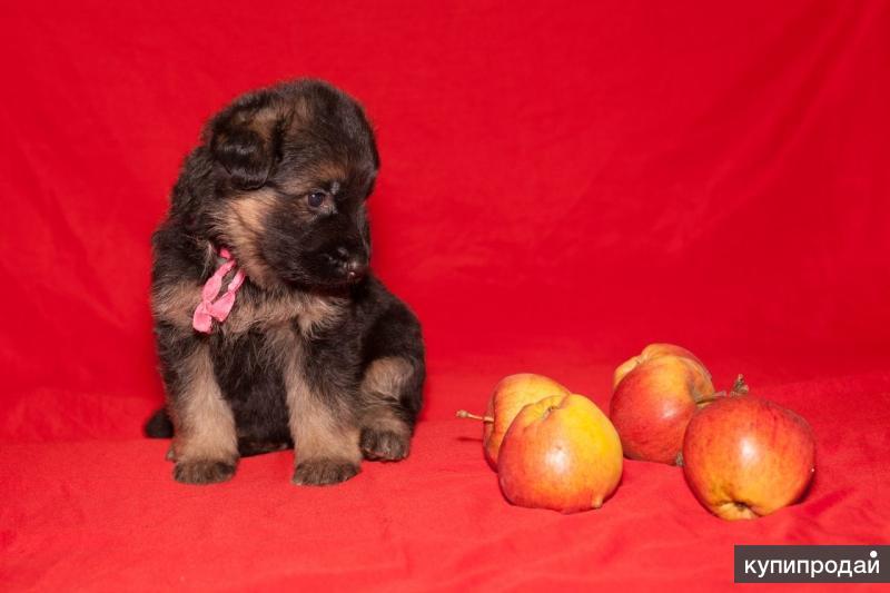 Продаю щенят немецкой овчарки, родились 12 октября, две девочки и три мальчика